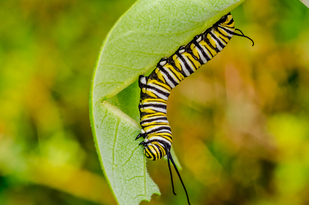 Monarch Butterfly Caterpillar crawling along a milkweed lead.