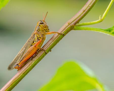 Macro  closeup Grasshopper perched on a plant stem.