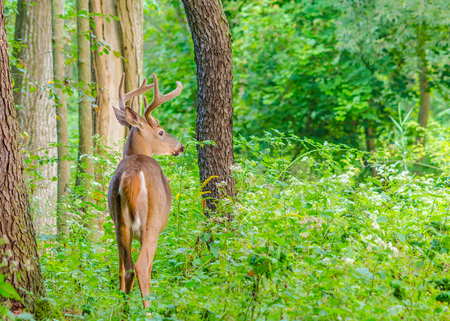 Whitetail Deer Buck In Velvet standing in the woods. photo