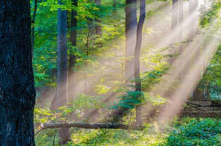 Morning Light Rays shining in the woods. 版權商用圖片