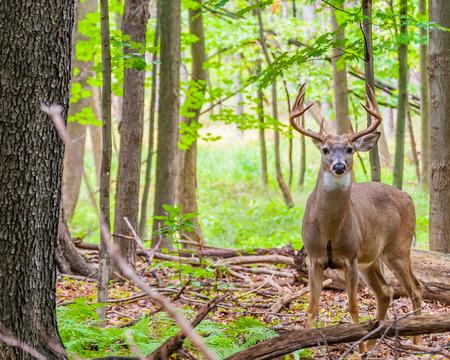 Whitetail 사슴 벅은 숲에 서.