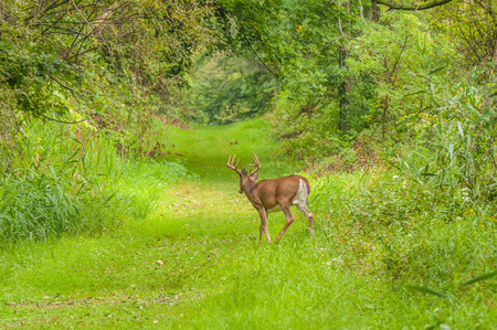 virginianus: Whitetail Deer Button Buck moving along a nature trail. Stock Photo