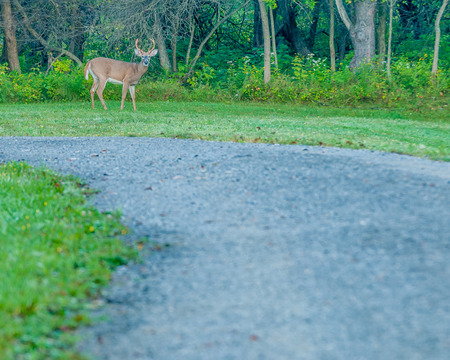 virginianus: Whitetail Deer Buck standing at the edge of a roadside.