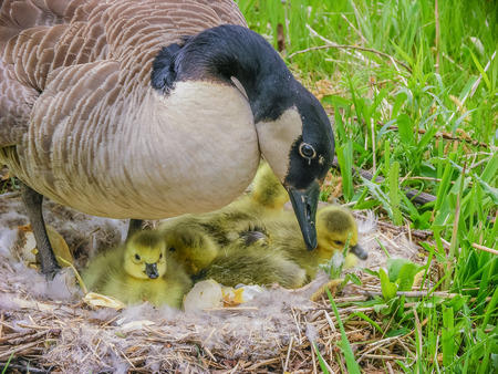 canada goose: Canada Goose sitting on a nest with newly hatched goslings.