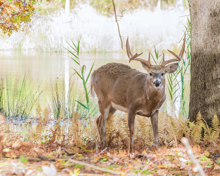 Whitetail Deer Buck standing in a woods. photo