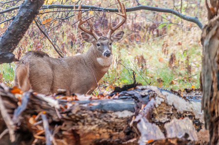 animales del bosque: Venado cola blanca Buck se coloca en un bosque.