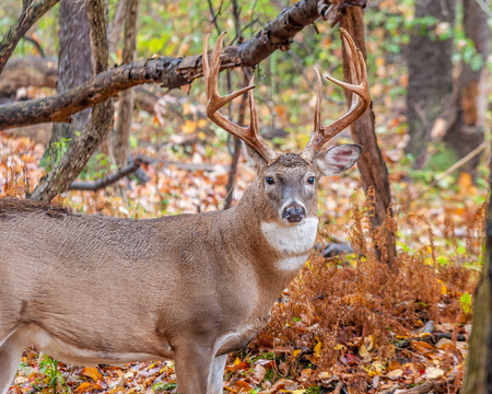 rut: Whitetail Deer Buck standing in a woods.