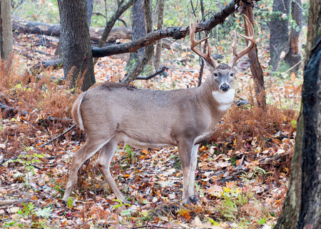 whitetail: Whitetail Deer Buck standing in a woods.