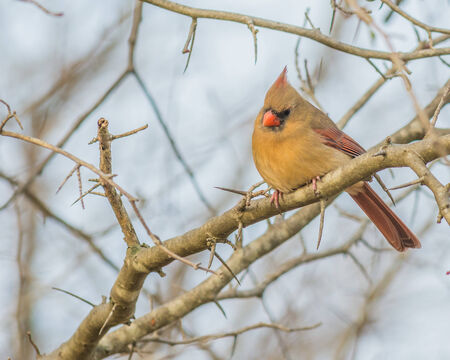 A female cardinals perched on a tree branch while its snowing.