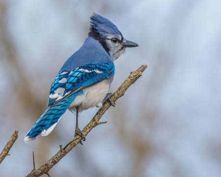 blue jay bird: A Blue Jay perched on tree branch.