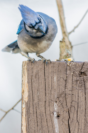 bluejay: A Blue Jay perched on a wood post. Stock Photo
