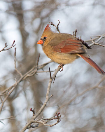 A female cardinals perched on a tree branch. photo