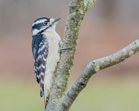 downy woodpecker: Downy Woodpecker perched on a tree stump.