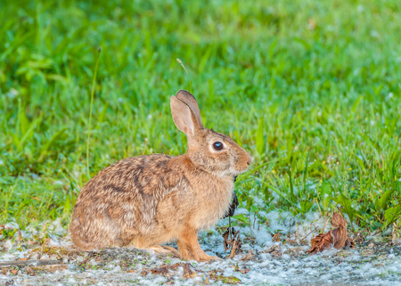Cottontail Rabbit sitting on a footpath looking into the woods. photo