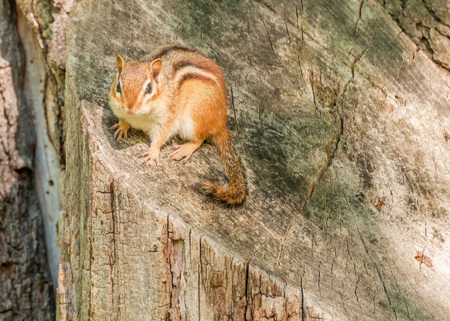 A Chipmunk perched on a tree stump. photo