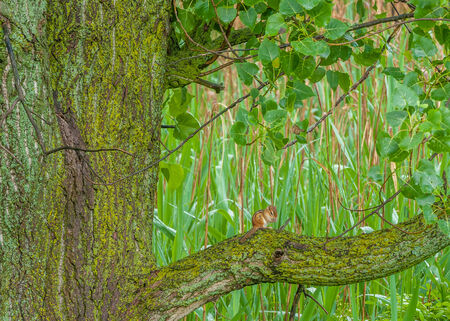A Chipmunk perched on a moss covered cottonwood tree at the edge of a swamp. Imagens