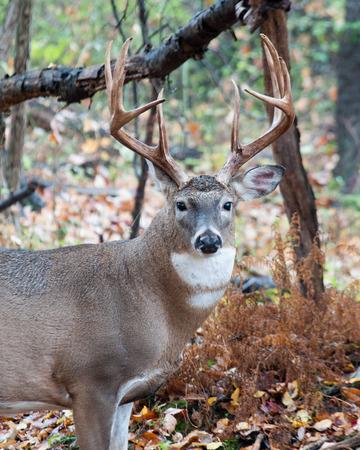 venado cola blanca: Venado cola blanca Buck se coloca en un bosque.