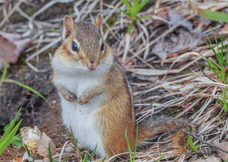 A Chipmunk perched on the ground.
