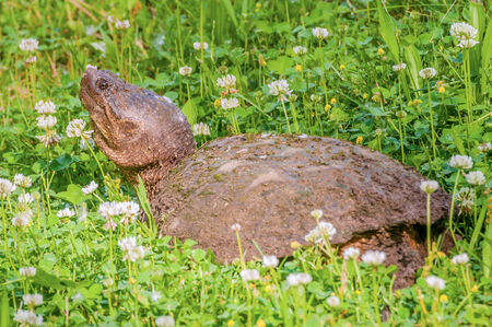 snapping turtle: a snapping turtle on the edge of a swamp. Stock Photo