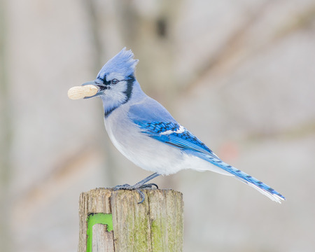blue jay bird: A Blue Jay perched on a wood post. Stock Photo