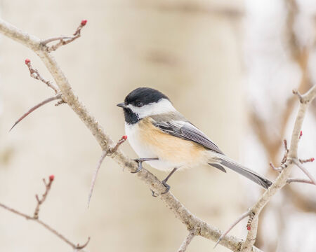 chickadee: Black-capped Chickadee perched on a tree branch.