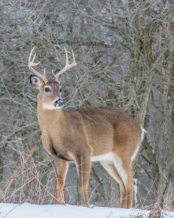 venado cola blanca: Venado de cola blanca pelota de pie en un bosque en invierno la nieve.