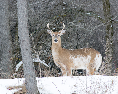whitetail: Piebald Whitetail Deer Buck standing in a woods.