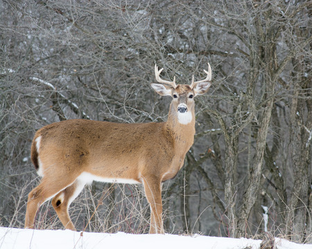 whitetail: Whitetail Deer Buck standing in a woods in winter snow.