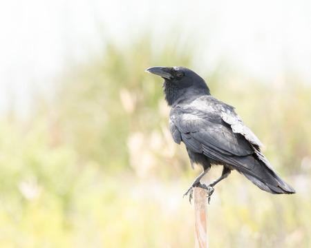 black raven: A black Raven Perched on a stick. Stock Photo