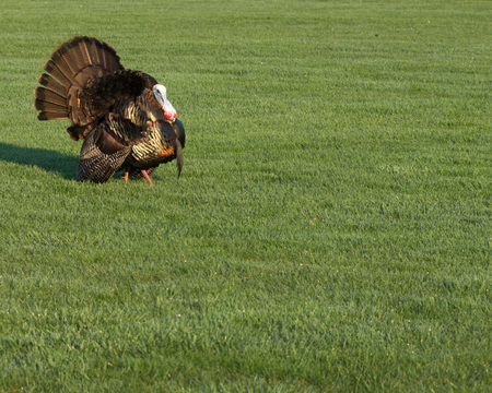 gamebird: Wild turkey strutting for a mate in the spring mating season.