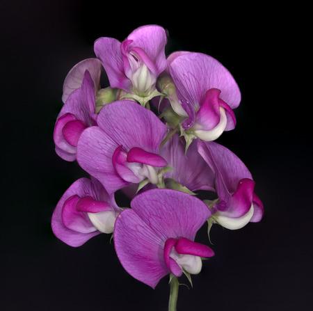 야생 완두콩 꽃 검정색 배경입니다.