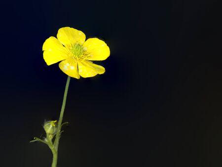 buttercup: A closeup macro shot of a Buttercup Flower.