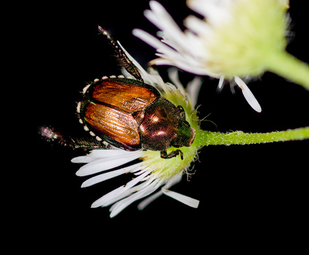 A Japanese Beetle perched on a white flower.