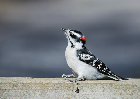 downy woodpecker: Downy Woodpecker perched on a wooden fence. Stock Photo