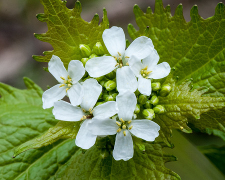 invasive plant: Closeup macro of a Garlic Mustard Weed Flower.