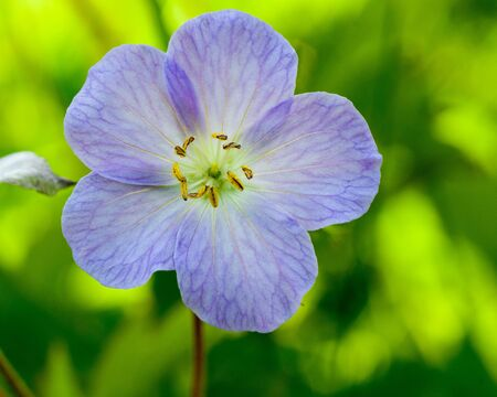 wood sorrel: A close up of a common wood sorrel blossom in late spring.