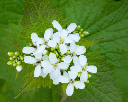 Closeup macro of a Garlic Mustard Weed Flower.