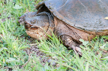 snapping turtle: A close up head shot of a snapping turtle on the edge of a swamp.