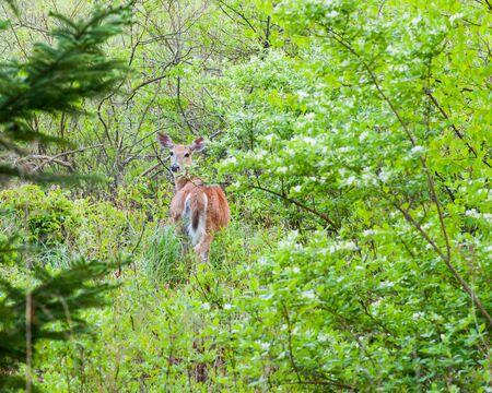 venado cola blanca: A whitetail deer doe standing at the edge of the woods. Foto de archivo
