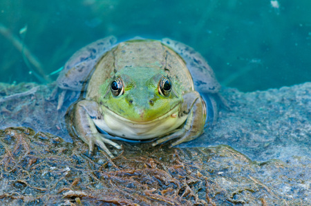 bullfrog: Bullfrog sitting on a rock in a swamp.