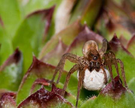 wolf spider: Wolf Spider With Egg Sack in the summer.