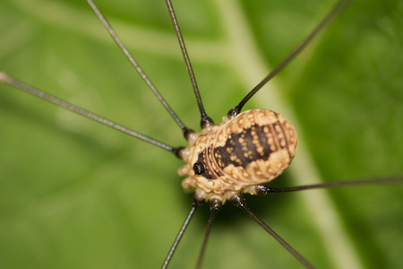 harvestman: A daddy longlegs perched on a plant leaf. Stock Photo