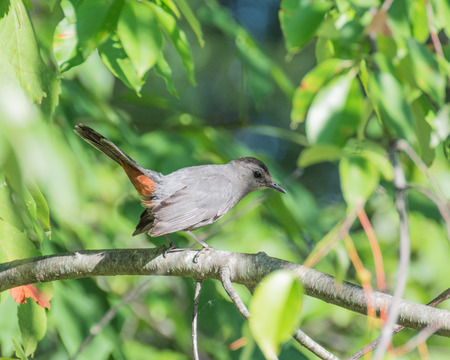 catbird: A Catbird perched on a tree branch.