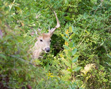 venado cola blanca: Whitetail Deer Buck standing in a woods.