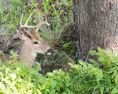 venado cola blanca: Venado de cola blanca Buck de pie en un bosque.