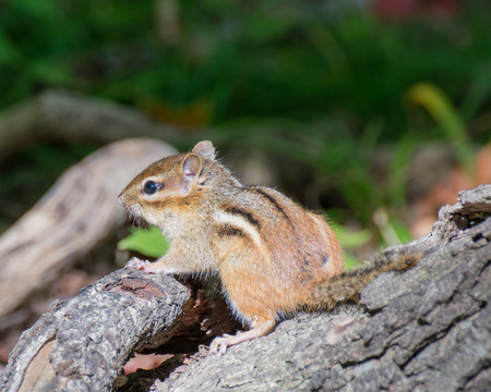 A Chipmunk perched on a tree stump. Stock Photo