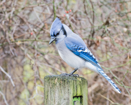 bluejay: A Blue Jay perched on wooden post.