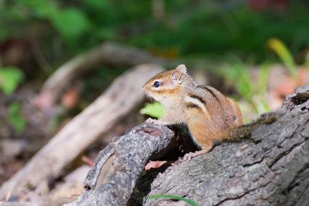 ardilla: Una ardilla encaramado en un tocón de árbol. Foto de archivo