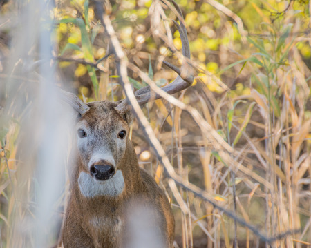 venado cola blanca: Venado de cola blanca Buck escondido en un matorral. Foto de archivo