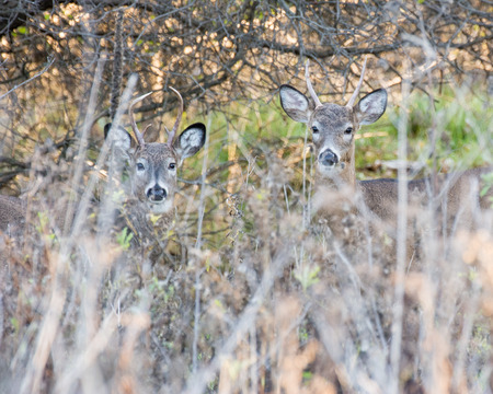 whitetail deer: Two whitetail deer spike bucks in a thicket.
